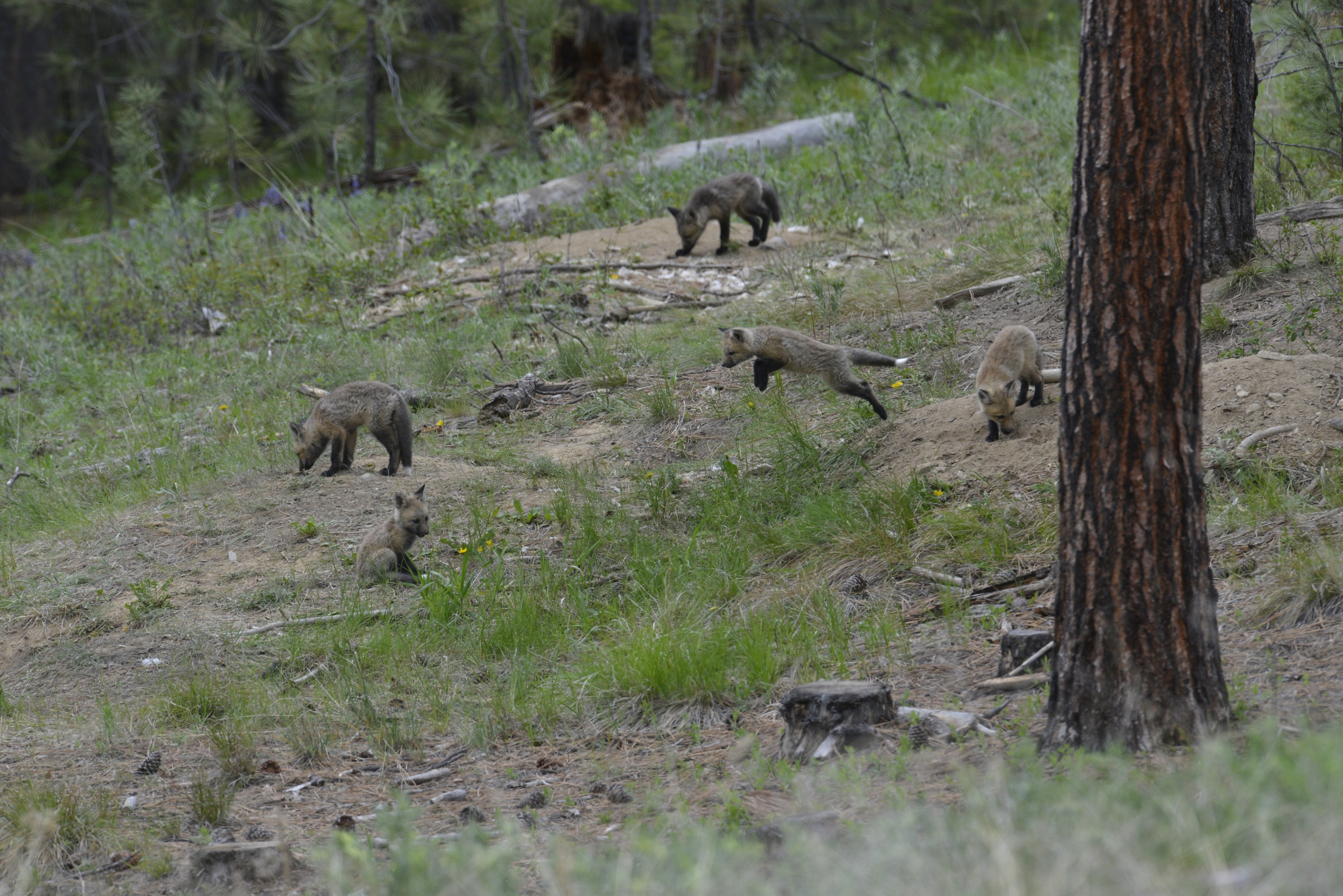 Five fox kits outside a den - one is leaping toward another - lookout!